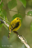 Flycatcher, Citrine @ Lake Tambing