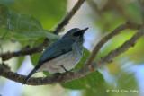 Flycatcher, Island Verditer @ Lake Tambing