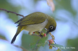 White-eye, Black-fronted @ Lake Tambing