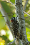 Woodpecker, Sulawesi Pygmy @ Lake Tambing
