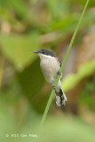 Flycatcher-Shrike, Bar-Winged @ The Gap