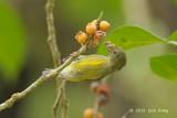 Flowerpecker, Crimson-breasted (female)