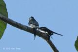 Treeswift, Grey-rumped (pair)