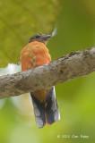 Trogon, Scarlet-rumped (juvenile)