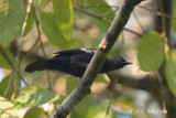 Bulbul, Black-and-White