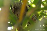 Owl, Sulawesi Scops @ Tangkoko