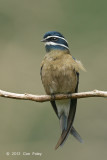 Treeswift, Whiskered