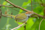 Tailorbird, Dark-necked (male) @ BBNP