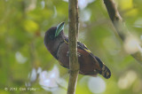 Broadbill, Banded (male)