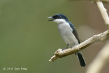 Flycatcher-Shrike, Black-Winged (male)