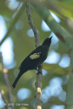 Bulbul, Black-and-white (male)