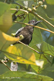 Bulbul, Black-and-white (female)