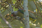 Parrot Blue-rumped (male)