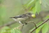 Flowerpecker, Scarlet-backed (female) @ SBWR