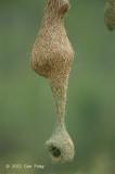 Weaver, Baya (nest)