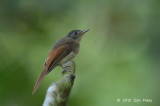 Philentoma, Rufous-winged (female)