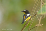 Flycatcher, Yellow-rumped (male) @ Halus