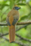 Trogon, Red-naped (female)