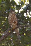 Goshawk, Crested (adult male) @ Doi Inthanon