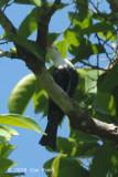 Bulbul, Black (leucothorax) @ Doi Chiang Dao
