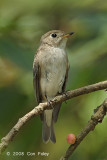 Flycatcher, Asian Brown @ Chinese Gardens