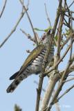 Cuckoo, Little Bronze (male) @ Chinese Gardens