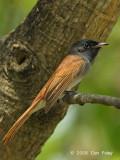 Flycatcher, Blyth's Paradise @ Chinese Gardens