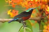 Sunbird, Purple-throated (male) @ Lower Peirce
