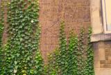 Ivy covered walls inOxford