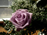 1 perfect rose