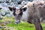 2010-07-14 Caribou Mont Jacques-CartierHD 702.jpg