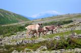 2010-07-14 Caribou Mont Jacques-CartierHD 742.jpg