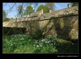 Daffodils, Snowshill Manor