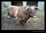 Durham Short-horn Bull, Beamish Living Museum