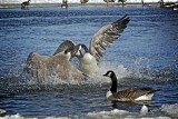 Return of the Canada Geese & Other Winged inhabitants