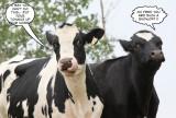 Cow Tations