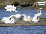 Pelican trick 2.jpg