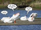 Pelican trick 4.jpg