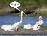 Pelican trick 5.jpg