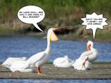 Pelican trick 6.jpg