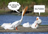 Pelican trick 7.jpg
