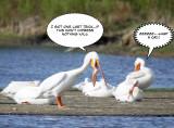 Pelican trick 8.jpg