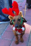 Reindeer Doxie -