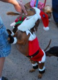 Bearded Santa Doxie - Hey Mom!
