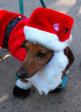 Bearded Santa Doxie - Close Up