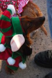 Elf Doxie - Am I Still Real Cute Mom!