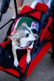 Can I Play Too Chihuahua
