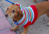 Sweater Doxie