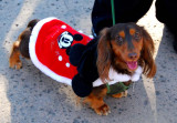 Mickey Mouse Doxie