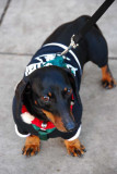 Aren't I Handsome Doxie